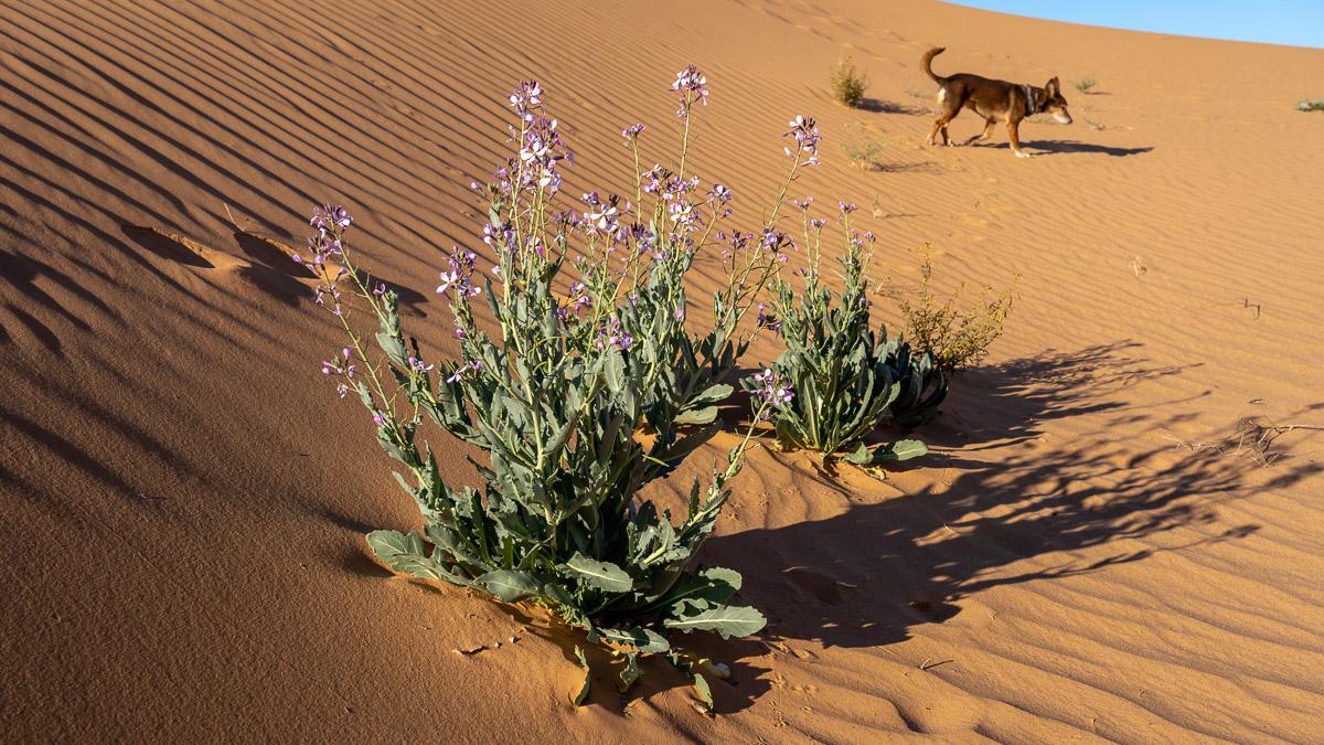 Wilder Rucola in der Wüste