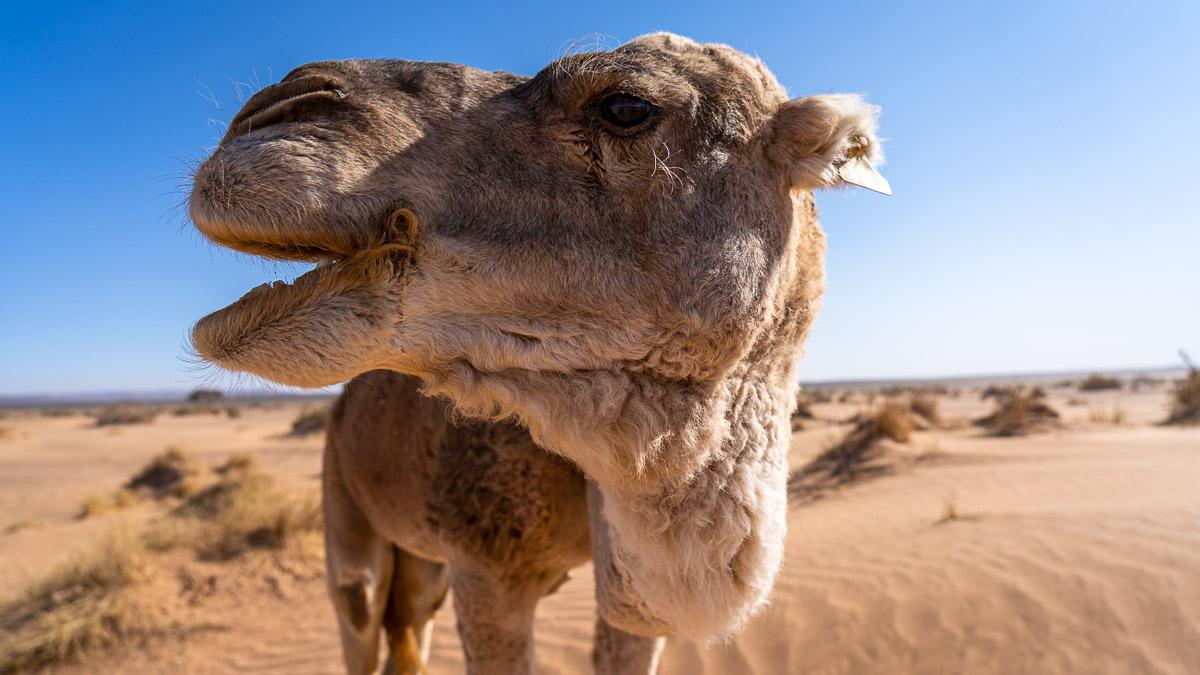 Dromedar Marokko