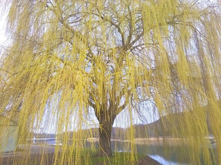 Frühling (oder sowas) am Rhein