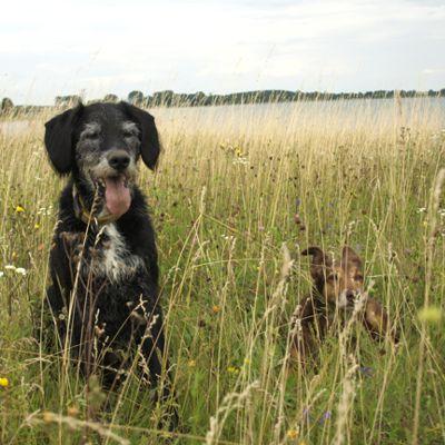 Hunde in Wiese