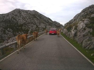 Alle wollen heim: Kuhstau auf dem Weg nach unten.