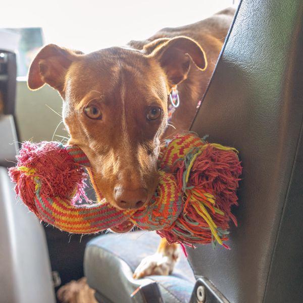 Podengo als Wohnmobilhund